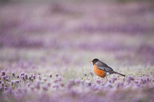 An American Robin Stands In A Field Of Small Purple Flowers Just Before Sunrise In Soft Morning Light.