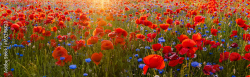 Red poppies among wildflowers in the sunset light