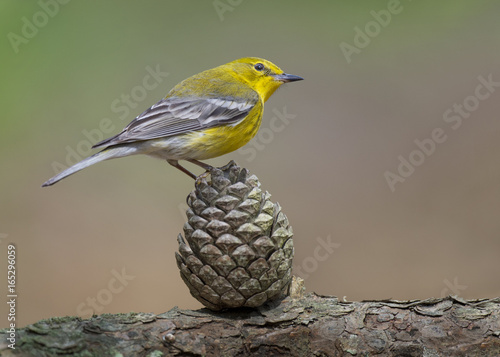 Photo sur Toile Oiseau A yellow Pine Warbler perches on a Pine Cone in the soft sunlight with a smooth green and brown background.
