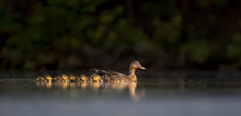 An Adult And Group Of Duckling...