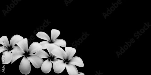 White flower, Close up petal of white Plumeria flower or white flowers isolated use for web design and flower background