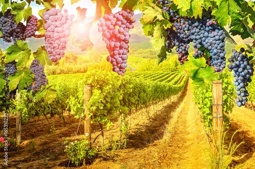 Fototapeta winnica   sezonowe-tlo-malownicza-winnica-o-zachodzie-slonca-czerwone-winogrona-wiszace-w-winnicy-rzedy