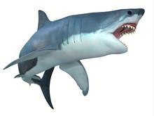 Dangerous Great White Shark - ...