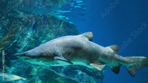 Obraz na płótnie Rekin w akwarium