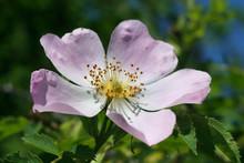 Delicate Flower Of Wild Rose P...