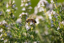Bee On Thymus Flower