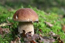Proud King Of Mushrooms Mushro...