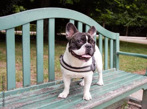 Deurstickers Franse bulldog Chien bouledogue français sur un banc