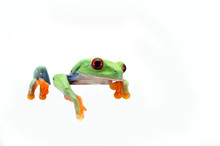 Red Eyed Tree Frog Isolated On...