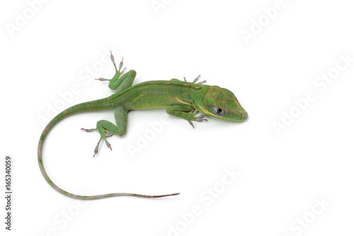 Knight Anole isolated on white background Canvas Print