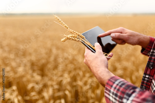 Fototapeta Smart farming using modern technologies in agriculture. Man agronomist farmer with digital tablet computer in wheat field using apps and internet, selective focus obraz