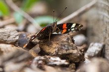 Red Admiral Butterfly (Vanessa...