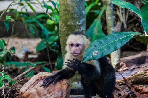 White-headed capuchin monkey (Cebus capucinus) in National Park Manuel Antonio, Canvas Print