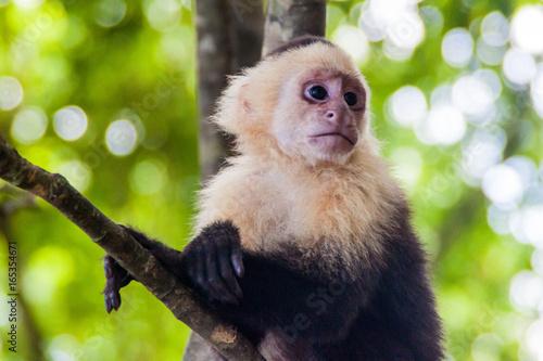 Fényképezés  White-headed capuchin monkey (Cebus capucinus) in National Park Manuel Antonio,