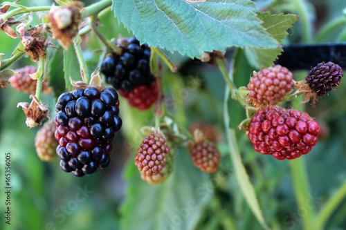 Nature food - blackberries bunch on a farm Tapéta, Fotótapéta