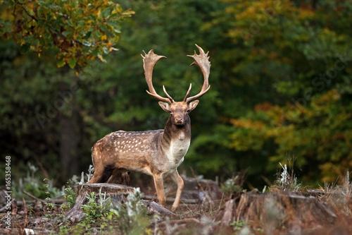 Poster Deer fallow deer, dama dama, Czech republic