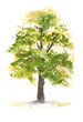 Leinwanddruck Bild - Green tree on white , watercolor painting