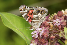 Underwing Of American Lady Butterfly On Milkweed Flowers In Connecticut.