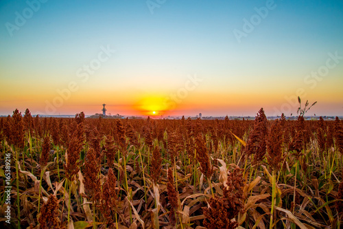 Papiers peints Rouge mauve sorghum field sunset background sertaozinho