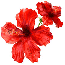 Red Hibiscus Flower, Tropical ...