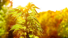 Cannabis Plant In Golden Summer Light, Marijuana Background With Lens Flare