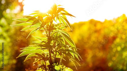 Obraz na płótnie Marihuany zasadzają w złotym lata świetle, marihuany tło z obiektywu racą