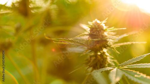 Obraz na płótnie Marihuany roślina z kwiatem, marihuana pączek w złotym lata świetle