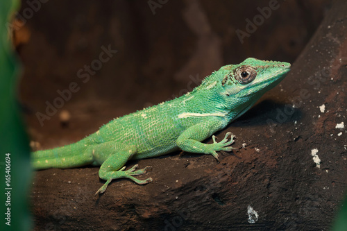 Knight anole (Anolis equestris) Wallpaper Mural