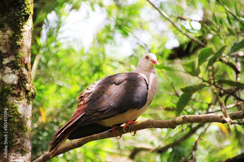 seltene endemische Taube