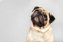 Studio Shot Of Funny Pug Dog, ...