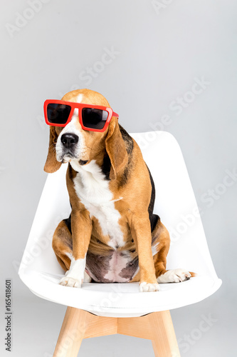 Fototapeta funny beagle dog in red sunglasses sitting on chair, isolated on white obraz na płótnie
