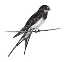 Barn Swallow (Hirundo Rustica) - Vintage Illustration