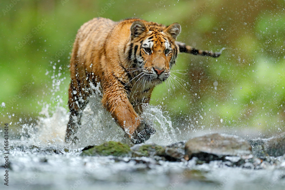 Tiger with splash river water. Tiger Action wildlife scene, wild cat, nature habitat. Tiger running in water. Danger animal, tajga in Russia. Animal in the forest stream. Grey Stone, river droplet.