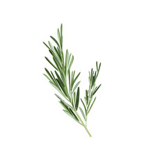 Sprig Of Rosemary Vector Illustration. Rosemary Herb