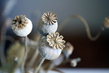 Close Up Of Dried Poppy Plant;...