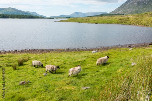 Photo Landascapes of Ireland. Sheep grazing, Connemara in Galway county
