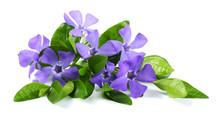 Bouquet Of Blue Periwinkle (Vi...