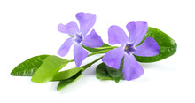 Bouquet Of Blue Periwinkle (Vinca Minor) Isolated On White Background