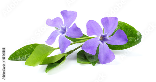 Cuadros en Lienzo Bouquet of blue periwinkle (Vinca minor) isolated on white background