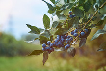 Fresh Organic Blueberrys On The Bush. VIntage Toned. With Copyspace.