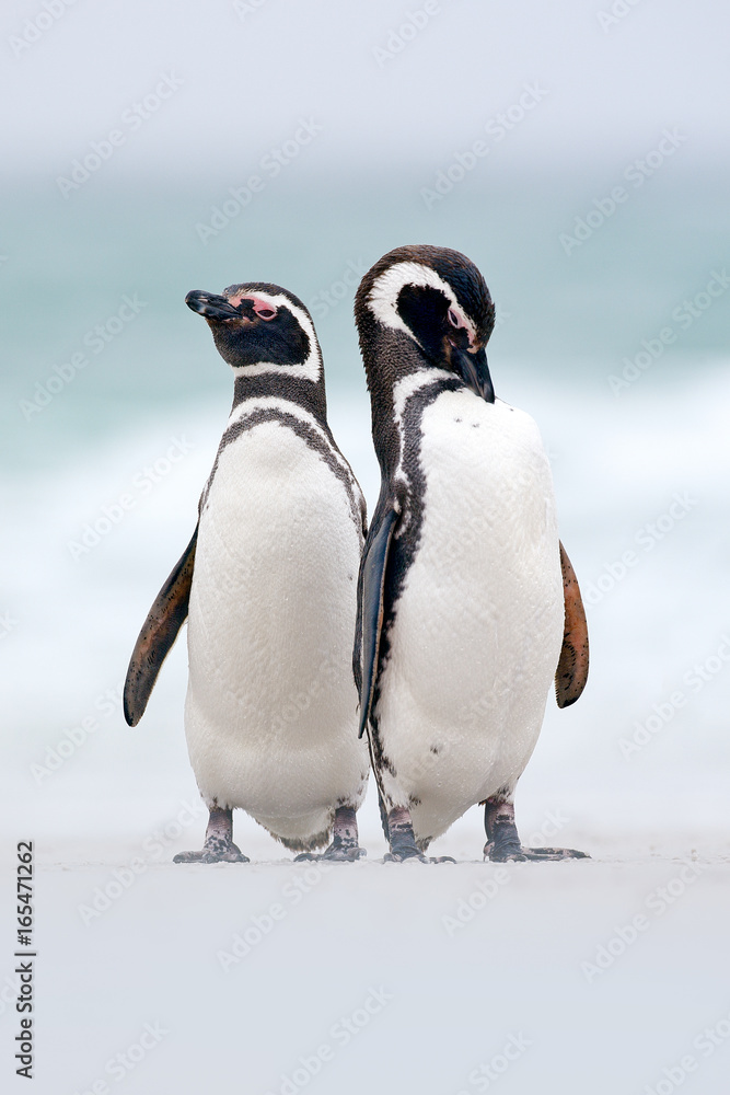 Two bird on the snow, Magellanic penguin, Spheniscus magellanicus, sea with wave, animals in the nature habitat, Argentina, South America. Pair of penguin.