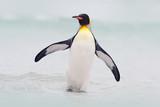Dziki ptak w wodzie. Pingwin Big King wyskakuje z niebieskiej wody podczas pływania przez ocean na wyspie Falkland. Scena przyrody z natury. Zabawny obraz z oceanu. - 165471666