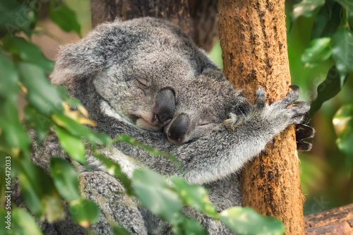 Canvas Prints Mother and baby koala