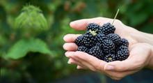 Fresh Picked Blackberries In A...