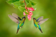 Two Hummingbird Bird With Pink Flower. Hummingbirds Fiery-throated Hummingbird, Flying Next To Beautiful Bloom Flower, Savegre, Costa Rica. Action Wildlife Scene From Nature. Bird Flying. Animal Love.