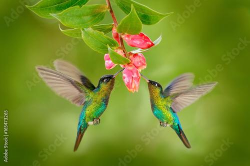 Fototapeta premium Dwa koliber ptak z różowym kwiatem. kolibry Ognisty kolec, latający obok pięknego kwiatu kwitnienia, Savegre, Kostaryka. Akcja sceny dzikiej przyrody z natury. Latający ptak. Miłość zwierząt.