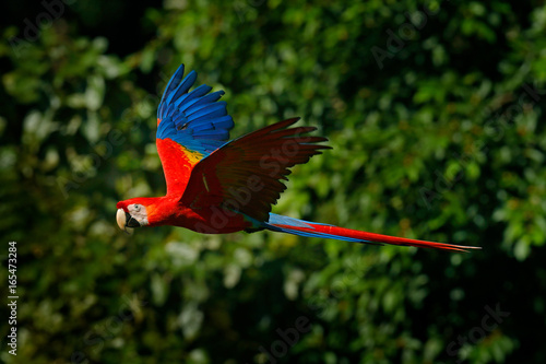 Photo  Red parrot in fly