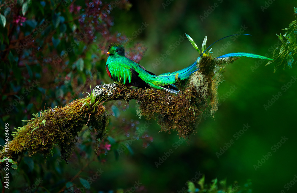 Fototapety, obrazy: Resplendent Quetzal, Pharomachrus mocinno, magnificent sacred green bird from Savegre in Panama. Rare magic animal in mountain tropic forest. Birdwatching in America.Exotic bird with long tail.