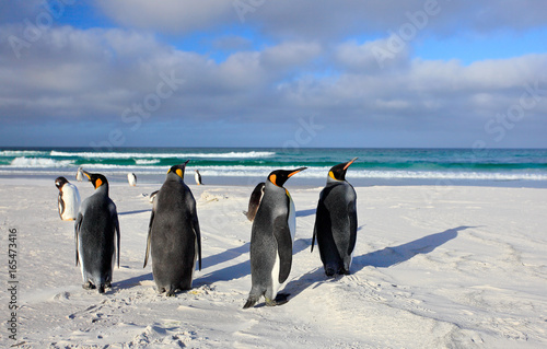 Bird on white sand beach. Group of King penguins, Aptenodytes patagonicus, going from white sand to sea, artic animals in the nature habitat, dark blue sky, Falkland Islands. Blue sky, white clouds.