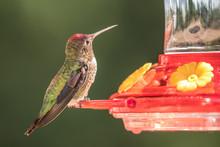 Male Anna's Hummingbird (Calyp...